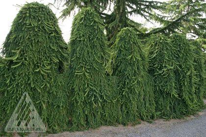 Picea Abies Pendula Weeping Norway Spruce Tree Swierk Pospolity