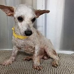 New York Ny Toy Poodle Meet Hoss A Pet For Adoption Poodle