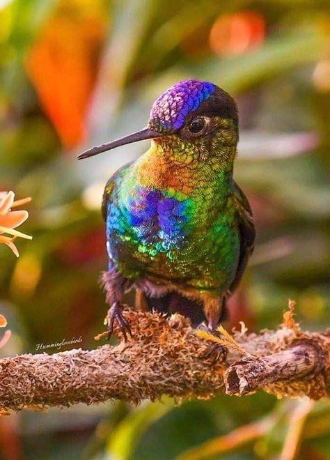 Colibri Aves Pajaros Aves Exoticas Aves De Colores
