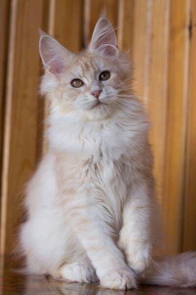 Pin On Maine Coon Norwegian Forest Cat Long Furred Cats