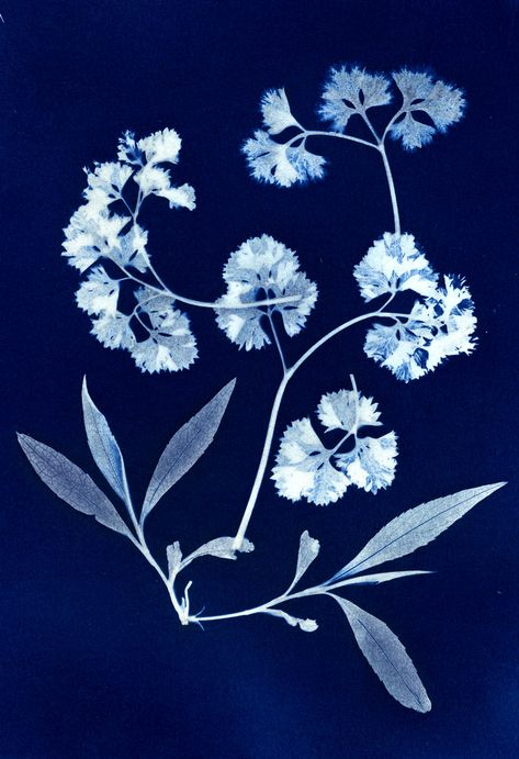 One of my latest cyanotypes, in this case, a camera-less image called a photogram, of parsley and a sage-like leaf.