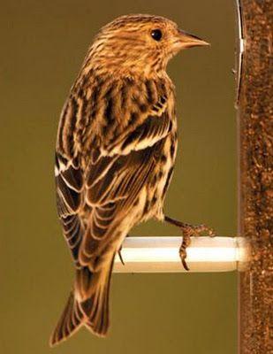 Wild Birds Unlimited Plain Little Brown Striped Bird