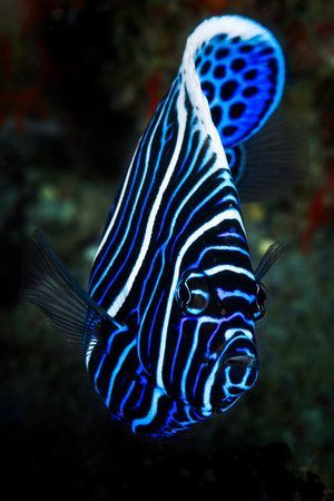 Emperor Angelfish Angel Fish Saltwater Fish Tanks Stretched Canvas Prints