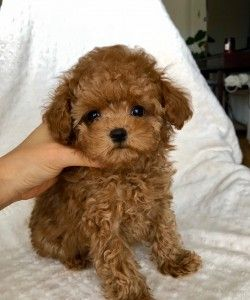 Red Teacup Maltipoo Puppy Iheartteacups Maltipoo Puppy Maltipoo Teacup Maltipoo