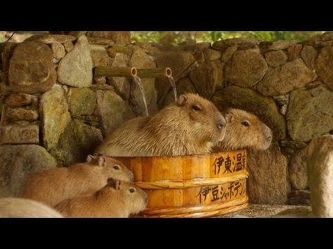 ▶ 長崎バイオパーク カピバラたらいの湯 ( Capybara in woody washtub ) - YouTube