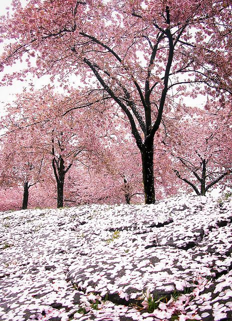 Drxgonfly The Pink Hail Of Cherry Blossom Storms By Manyfires Blossom Trees Beautiful Nature Cherry Blossom