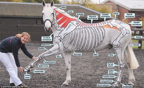 Here is a great picture to help us with our Equine anatomy of the Skeletal system. The skeleton of the horse has three major functions in the body. It protects vital organs, provides framework, and supports soft parts of the body. Horses have 205 bones, which are divided into the appendicular skeleton (the legs) and the axial skeleton (the skull, vertebral column, sternum, and ribs). Both pelvic and thoracic limbs contain the same number of bones, 20 bones per limb. Bones are connected to mu...