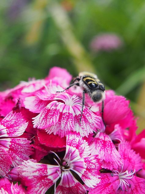 Free Image on Pixabay - Flower, Bumblebee, Insect, Nature