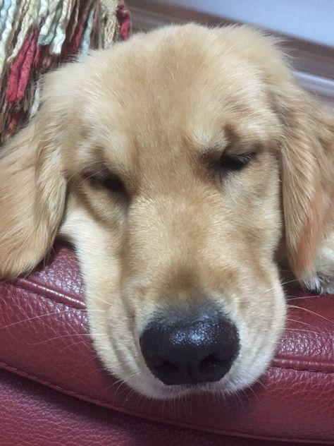 Reese Is A One Year Old Golden Retriever Golden Retriever