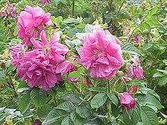 Oklahoma State Flower Oklahoma Rose Rosa Odorata Andr Sweet Planting Roses Rose Flowers