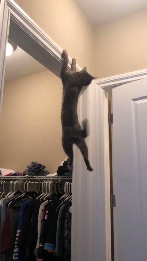 Кіт-акробат підкорює інтернет, адже він качок, трюкач і красень, а інші коти явно намагаються йому наслідувати