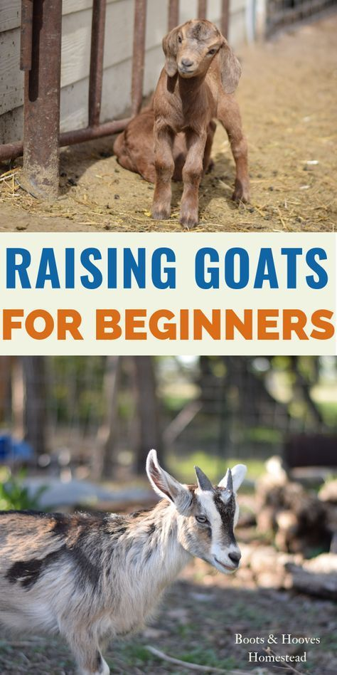 Pin By Sabrina Lackner On Farm In 2020 Goats Raising Goats Goat Farming