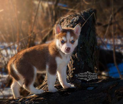 Siberian Husky Puppy For Sale In Stroudsburg Pennsylvania Find