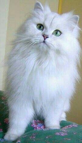 White Floof Persian Cat White Cute Cats Beautiful Cats