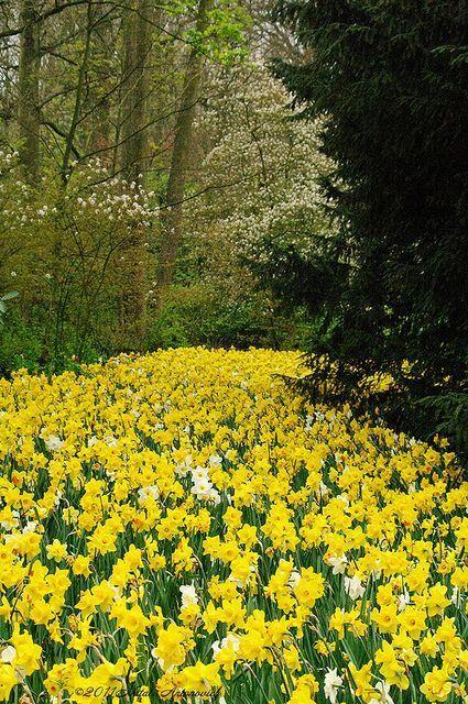 Keukenhof Holland Landschaft Narzissen Fruhlingsblumen