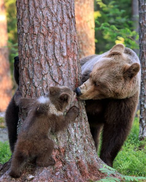 Stunning images capture the moment a mother bear was caught kissing her cub following an afternoon of games. Physical Education teacher,…