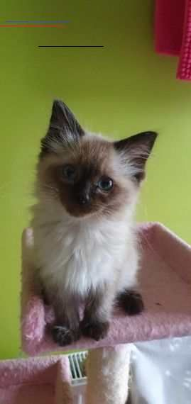 Seal Mink Boy Ragdoll Ready Now Birmingham West Midlands Pets4homes Ragdollkittens Very Loving Seal Mink Ragdoll Kitten Ready Now For His Forever En 2020 Jouet