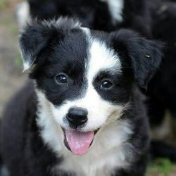 Ivy League Cornell Is An Adoptable Border Collie Dog In Garland