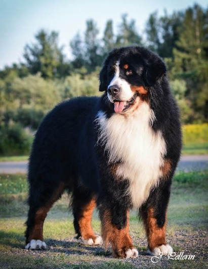 Pin By Big Barker Dog Beds On Sweet Bernese Mountain Dogs
