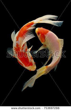 Koi Fish Fish Koi Animal Background White Golden Carp Colorful Red Micky Yudistira Koi Fish Drawing Fish Drawings Koi Fish