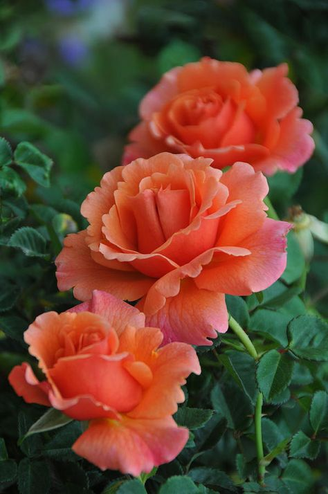 .Perfectly Peach Roses!