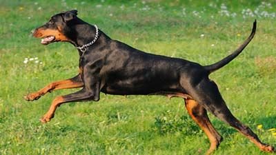 10 Most Intelligent Dog Race In The World Best Guard Dog Breeds