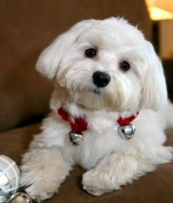 Cost For A Full Groom Puppy Cut Page 3 Maltese Dogs Forum