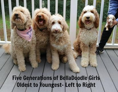 Belladoodles Goldendoodles Goldendoodle Goldendoodle Puppy Red Goldendoodle
