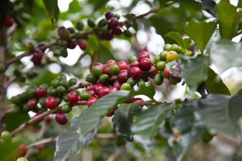 Tour a local coffee estate on day 6 of VBT's biking vacation in Costa Rica.
