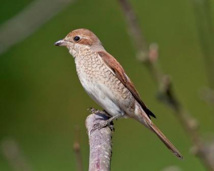 Vogel Des Monats Der Neuntoter Singvogel Natur Und Gartentipps