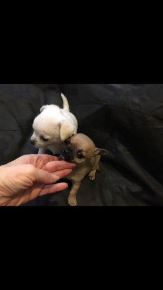 2 Boy Chihuahua Puppies Chihuahua Puppies Chihuahua Breeds