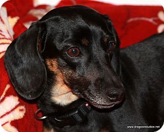 Pictures Of Bridget About 5 250 Fee A Dachshund For Adoption In