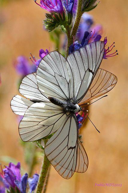 Aporia crataegi, Black-veined white Butterfly