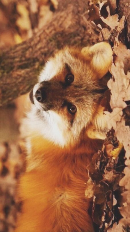 Autumn Good Evening My Friend 3 Autumnwallpaper With Images Pet Fox Cute Baby Animals Animals Beautiful