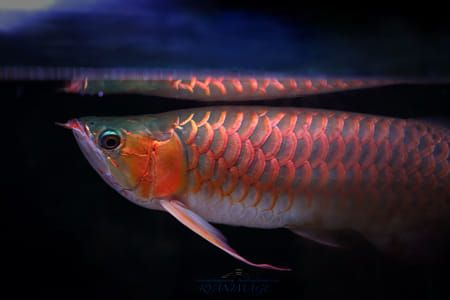 Toshi Dragon 500px ปลาก ด