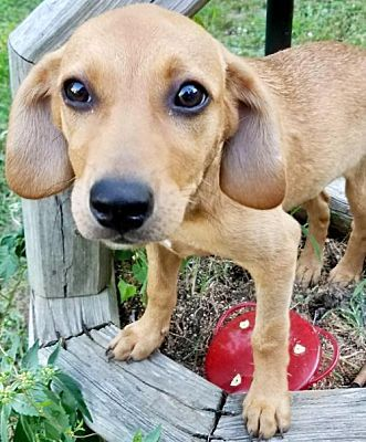 Fort Wayne In Labrador Retriever Meet Little Ann A Dog For