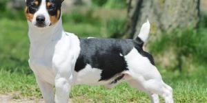 Todas Las Razas De Perros Nombres Fotos Y Características Razas De Perros Inteligentes Razas De Perros Razas De Perros Raros