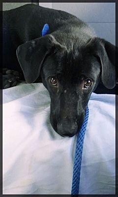 Shelter Island Ny Labrador Retriever Meet Dougie A Dog For Adoption Pets Pet Adoption Labrador Retriever
