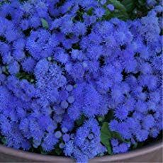 Floss Flower How To Care For Ageratum Houstonianum Mosquito Repelling Plants Annual Bedding Plants Plants