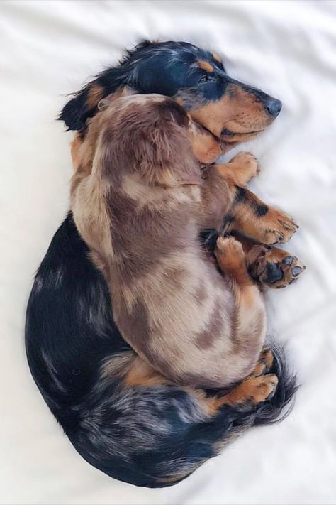 Top Funny Dachshund Sleeping Positions And What They Mean