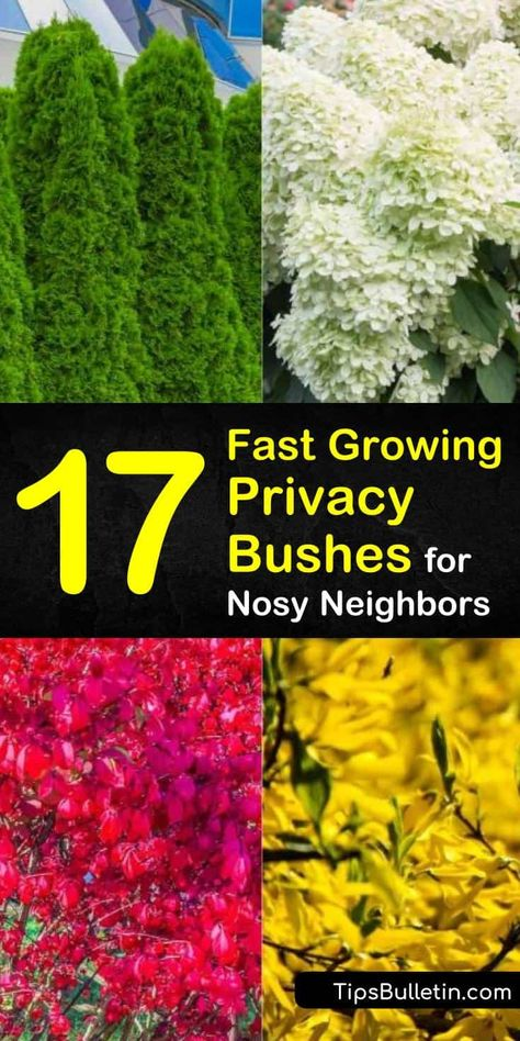 Discover 17 privacy bushes and shrubs that are perfect for screening your backyard front yards patio and driveways. Find out which plants are suitable along fence lines and which are fast growing to experience peace and serenity of a secluded residence. Fast Growing Privacy Shrubs, Shrubs For Privacy, Bushes And Shrubs, Privacy Landscaping, Garden Shrubs, Front Yard Landscaping, Lawn And Garden, Tall Shrubs, Planting For Privacy