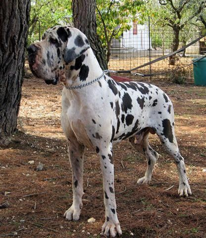 Everything We All Like About The Affectionate Great Dane Puppy