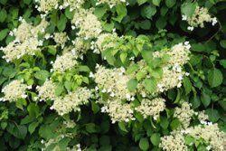 Perlmuttstrauch Kolkwitzie Kolkwitzia Amabilis Pflege Amabilis Kolkwitzia Kolkwitzie Perlmuttstrauch Pflege Plants Herbs