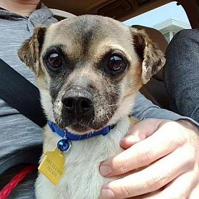 Dallas Tx Chihuahua Meet Beto A Dog For Adoption Pets