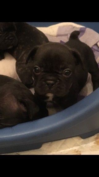 French Bulldog Puppies Bulldog Puppies French Bulldog Puppies