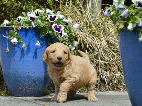 Litter Of 9 Goldendoodle Puppies For Sale In Live Oak Fl Adn