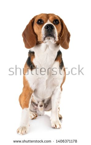 Stock Photo Young Beagle In Front Of White Background Buy Pets