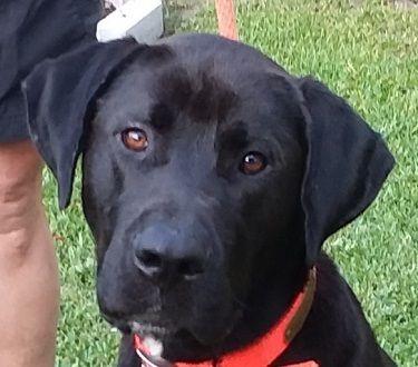 Adopt Jax 12 On Black Labrador Retriever Dogs Labrador Retriever Mix
