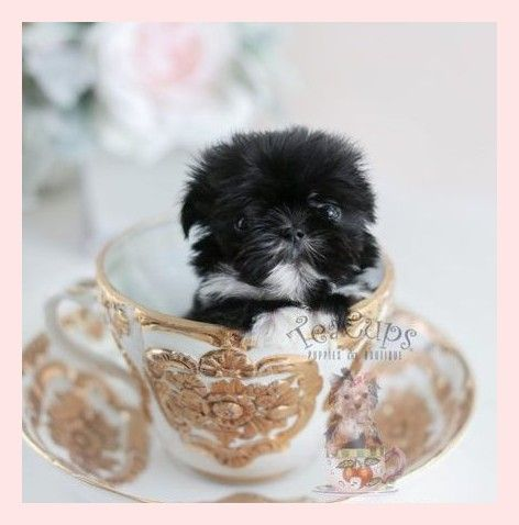 Imperial Shih Tzu Puppies For Sale By Teacups Puppies Boutique Imperial Shih Tzu Welpen Zum Verkauf Von Teacups Puppies Boutique Teacuppup Teacup Puppies Teacup Puppies For Sale Shih Tzu Puppy