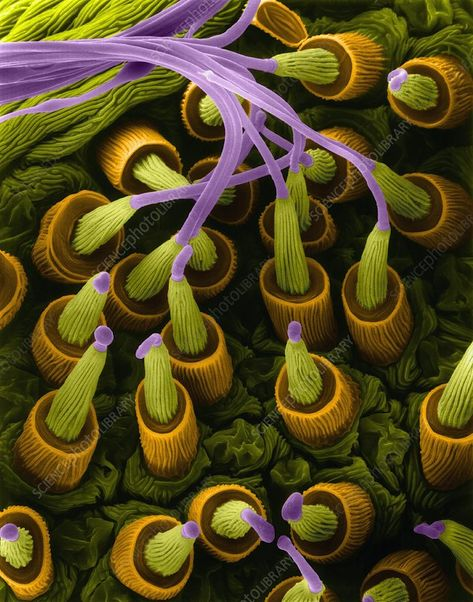 "A scanning electron microscope image of spider silk glands making a thread originally from Dennis Kunkel Microscopy. (Spider fiber is still ""fiber"". All Nature, Science And Nature, Amazing Nature, Scanning Electron Microscope Images, Microscope Pictures, Scanning Electron Micrograph, Spider Silk, Spider Webs, Photo Macro"